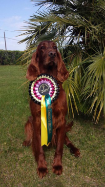 Greta_ganador_crufts_2016_setter Irlandes-4